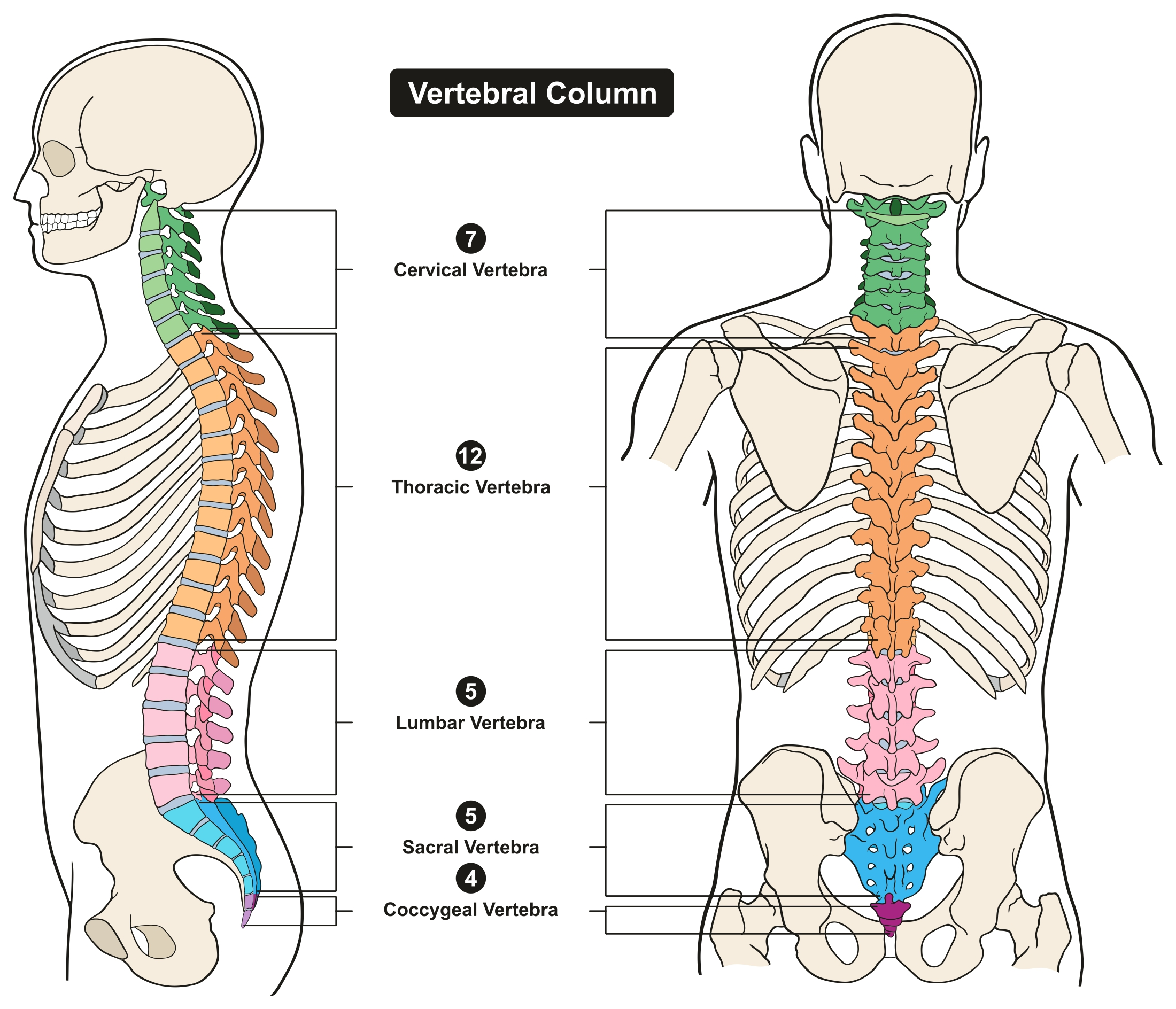 Vertebral Column of Human Body Anatomy
